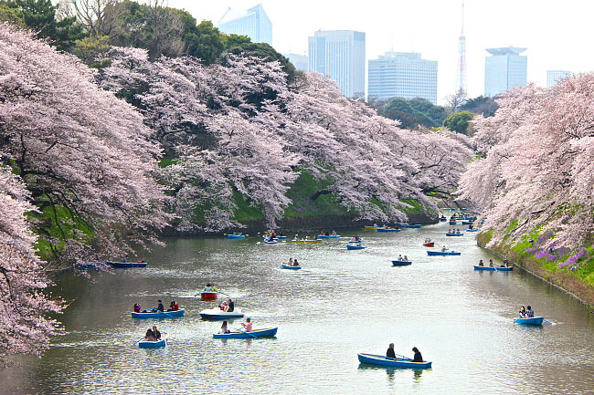 Cherry Blossom All Around the Imperial Castle